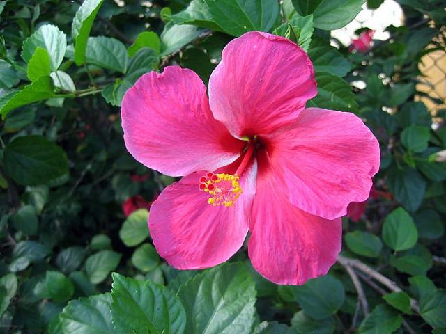 hibiscus flower seychelles ganesha