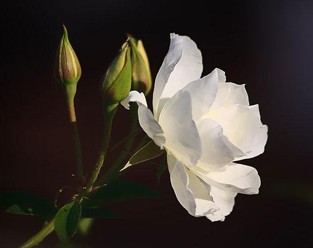 white rose saibaba